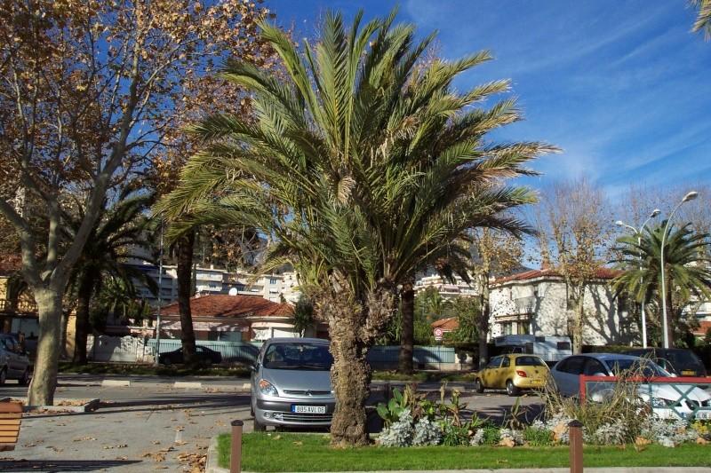 Phoenix dactylifera - palmier dattier Phoeni10