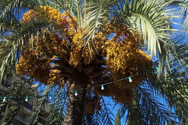 Phoenix dactylifera - palmier dattier Phoeni11