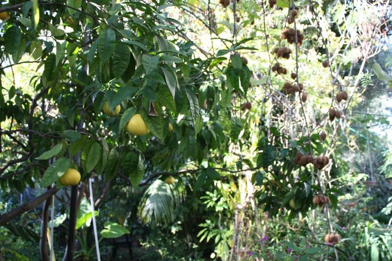 Citrus paradisi - pomélo Pomelo11