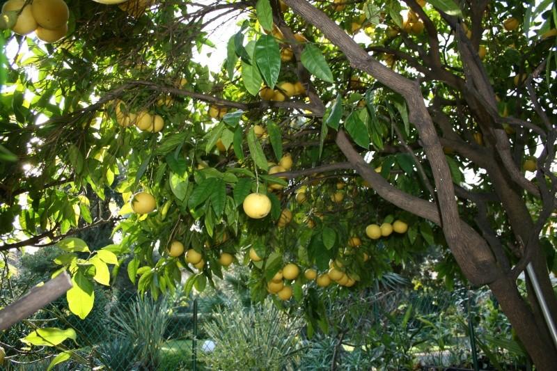 Citrus paradisi - pomélo Pomelo12