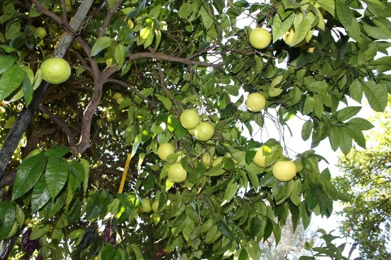 Citrus paradisi - pomélo Pomelo13