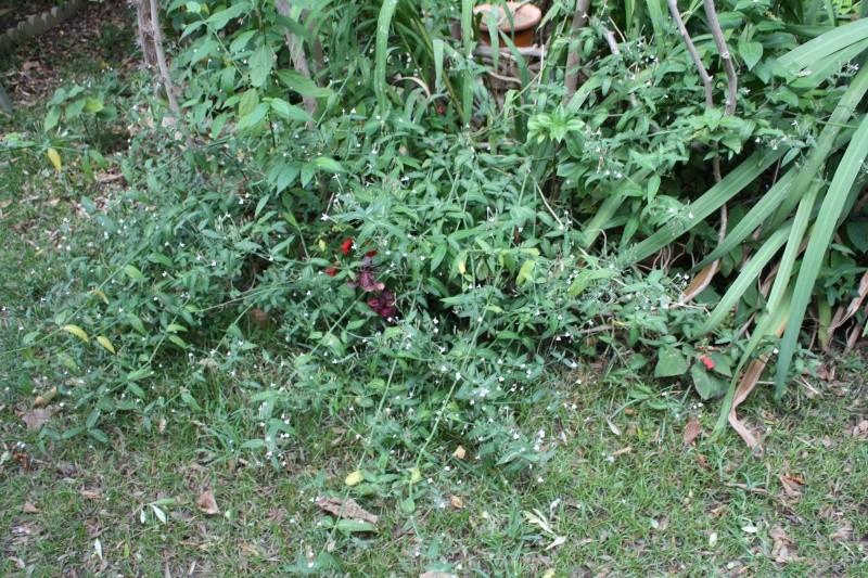 Quelques Acanthaceae en fleurs  Rhinac10