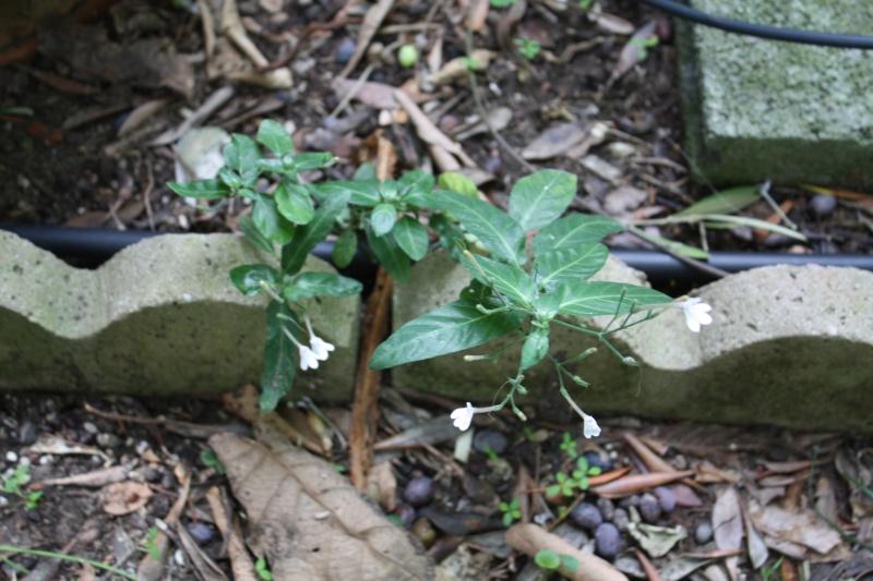 Quelques Acanthaceae en fleurs  Rhinac11
