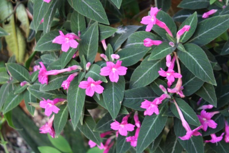 Quelques Acanthaceae en fleurs  Ruelli10