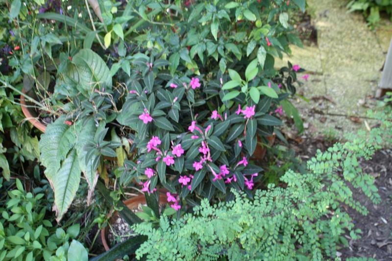 Quelques Acanthaceae en fleurs  Ruelli11