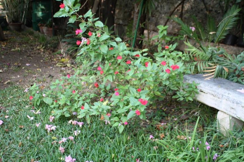 Salvia - les floraisons du moment - Page 16 Salvia11