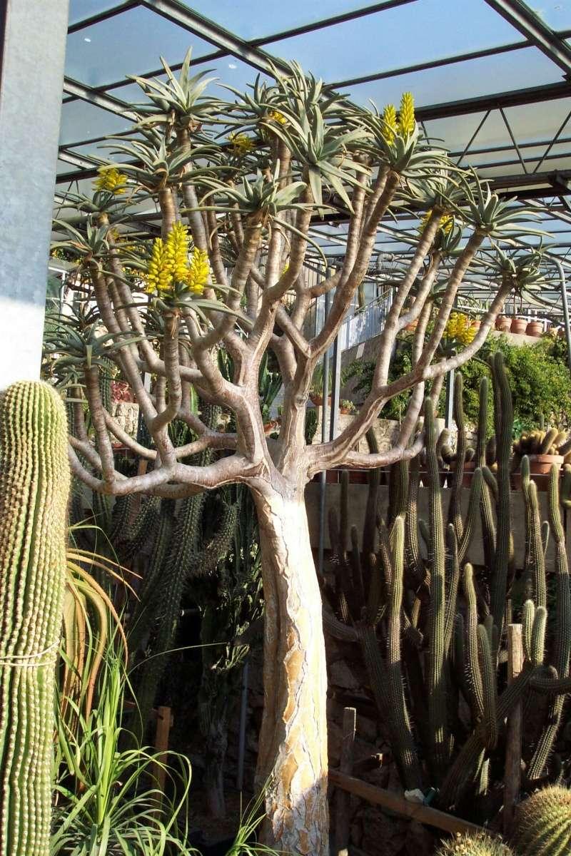 Aloidendron dichotomum (= Aloe dichotoma) Serres10