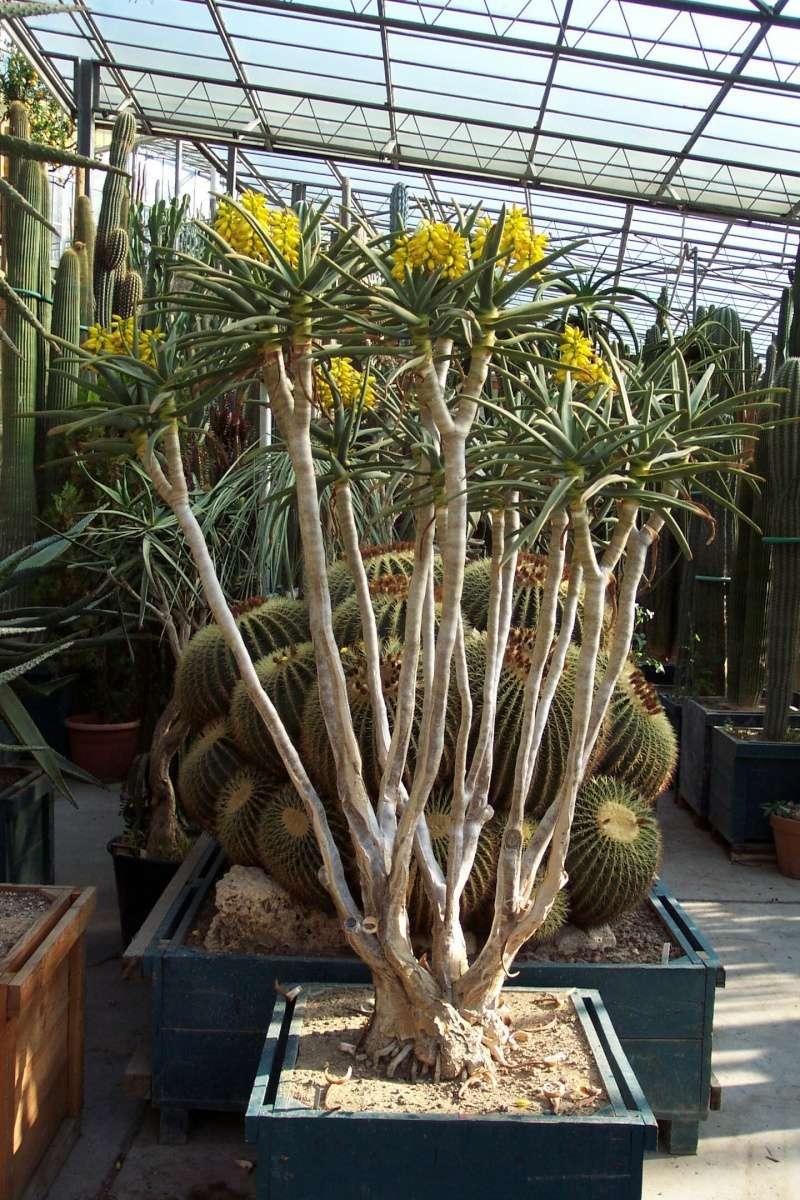 Aloidendron dichotomum (= Aloe dichotoma) Serres11