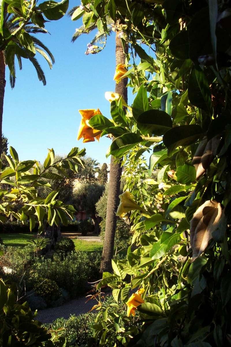 Phoenix canariensis - phoenix des Canaries, faux-dattier Vue_de10