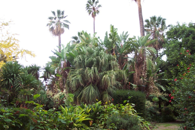 Washingtonia robusta Washin17