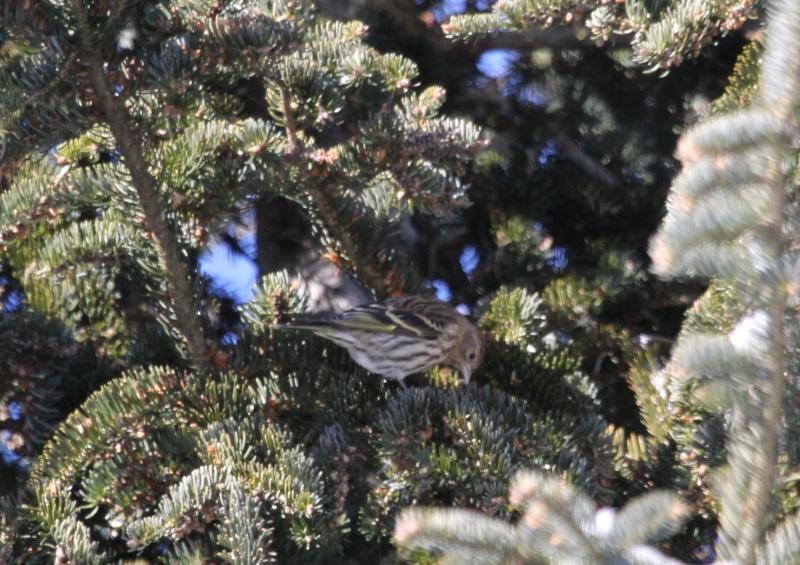 Chez moi ce matin, Tarins des pins Img_9720