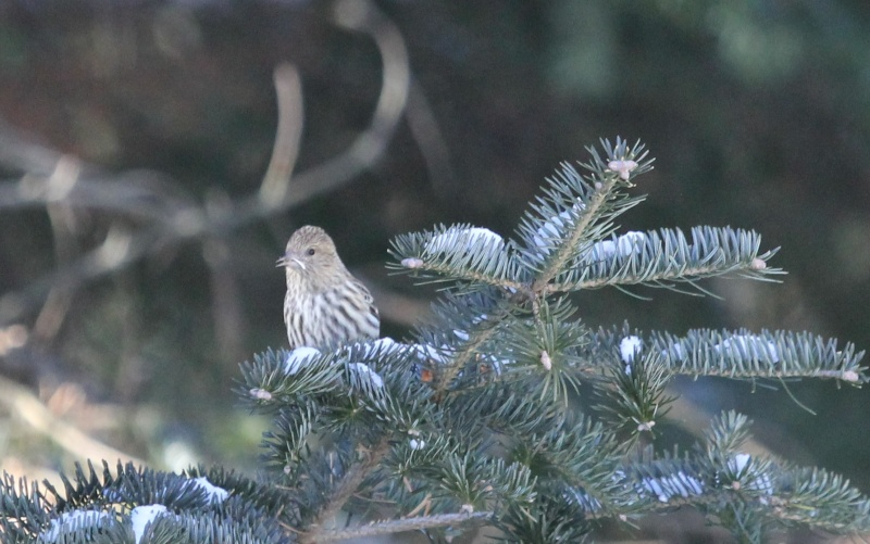 Chez moi ce matin, Tarins des pins Img_9721