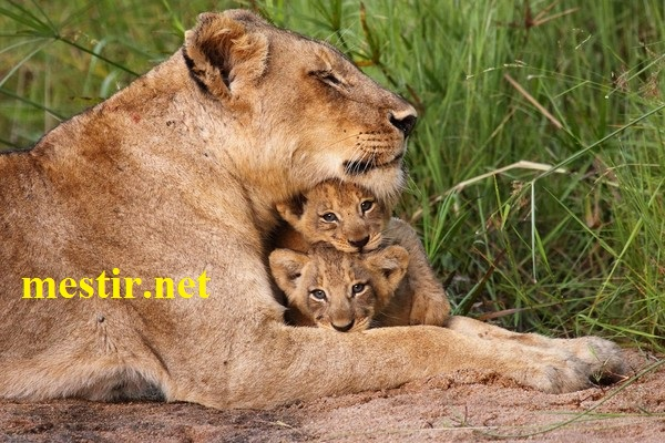 L'amour maternel  Lion10