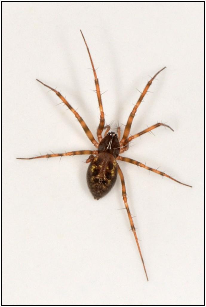 Linyphiidae : Lepthyphantes ? Leptyp10