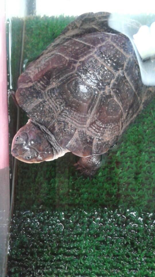 tortuga Tortug10