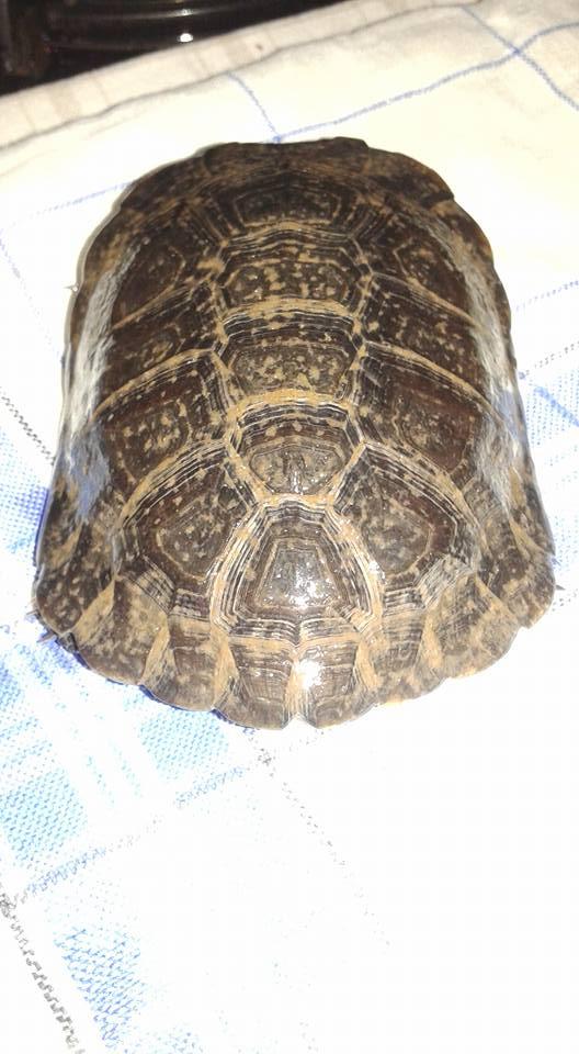 tortuga Tortug12