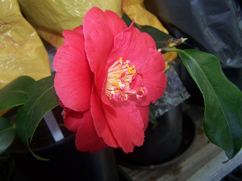 Camellia , saison 2015 - 2016 - Page 2 100_9811