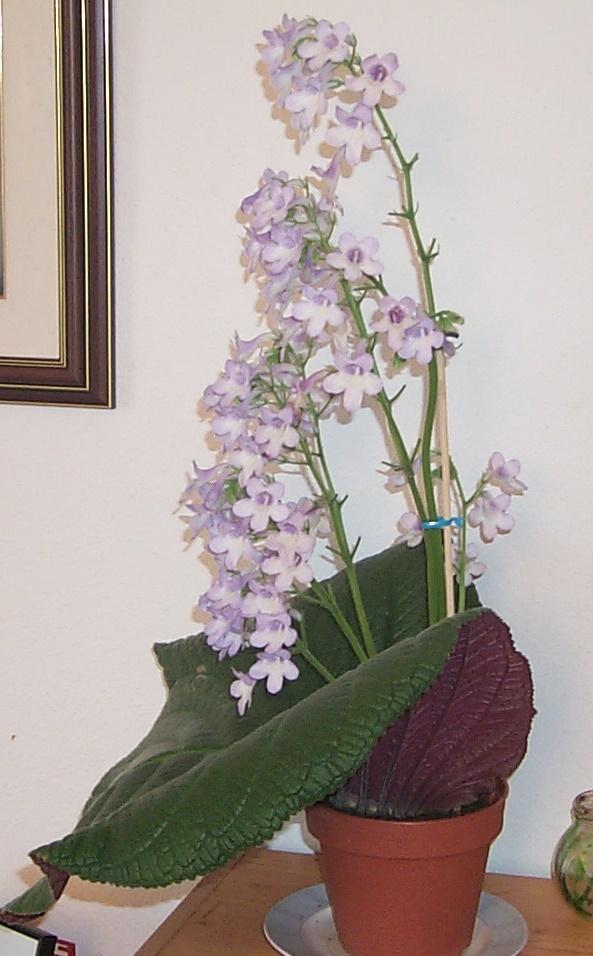 Petit clin d'oeil : Streptocarpus cooperi 12-07-10