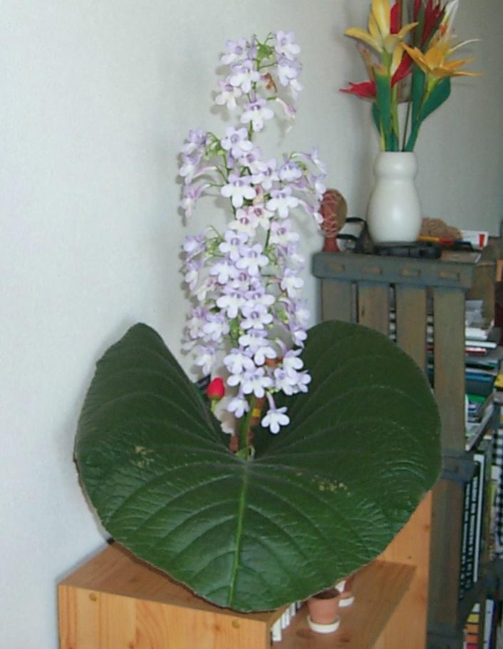 Petit clin d'oeil : Streptocarpus cooperi 30-06-10