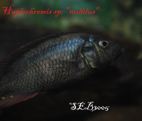 """Haplochromis sp. """"nubilus"""" 156_6010"""