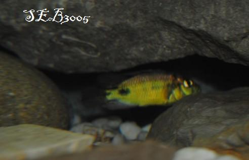 Haplochromis aeneocolor Dsc_0042