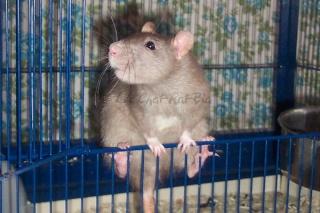 Généalogie des ratons Branwe10