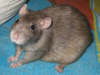 Généalogie des ratons Coroni10