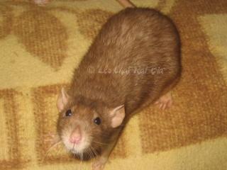 Généalogie des ratons Dolmen10