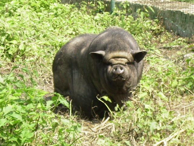 cochon vietnamien 02_06_10