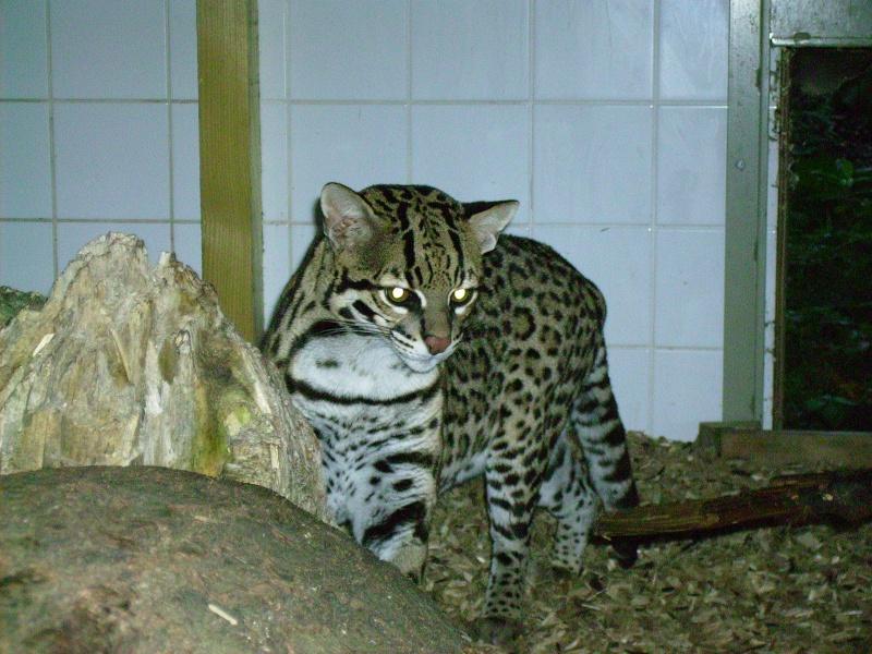 """OCELOT """"leopardus pardalis"""" 06_10_10"""