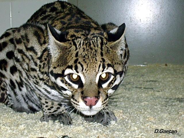 """OCELOT """"leopardus pardalis"""" Amiens10"""