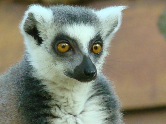 "MAKI CATTA ""lemur catta"" Dsc06711"