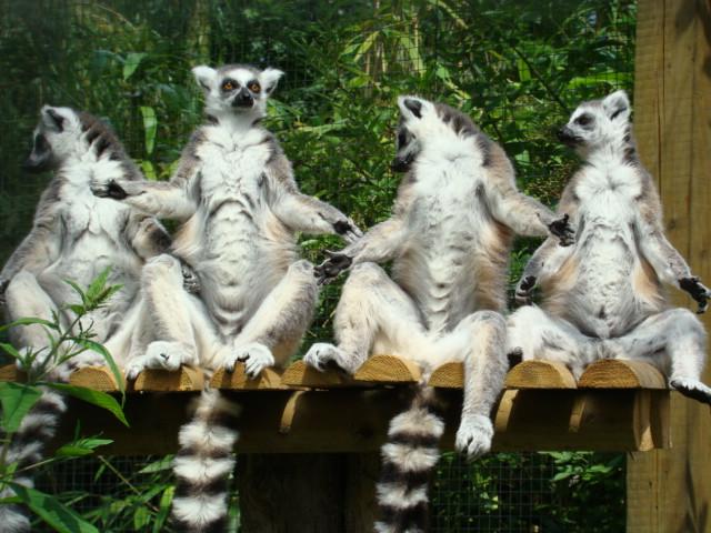 "MAKI CATTA ""lemur catta"" Dsc09112"