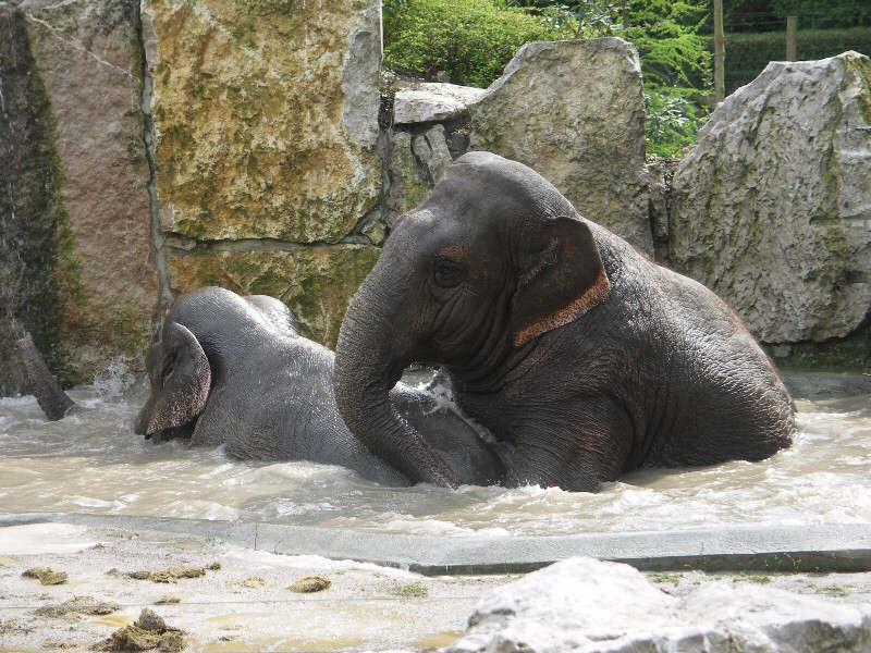 "ELEPHANT D'ASIE "" elephas maximus "" Janapr10"