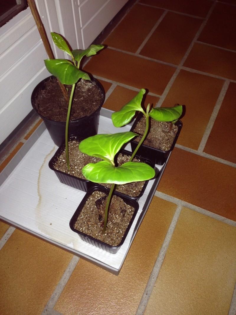jeunes plant de catappa Image111