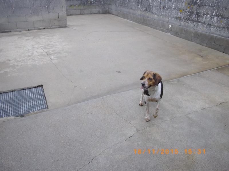 ELGA  beagle née 01/10/2014  adoptée par MARYLINE  ( 79 ) 113-bo10