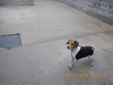 ELGA  beagle née 01/10/2014  adoptée par MARYLINE  ( 79 ) 113-bo11
