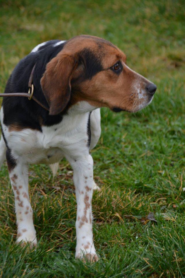 ELGA  beagle née 01/10/2014  adoptée par MARYLINE  ( 79 ) 12640510