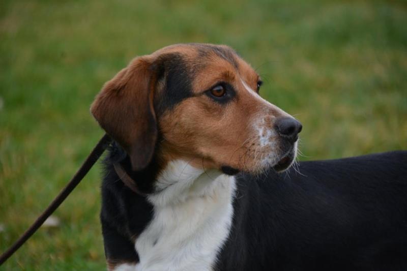 ELGA  beagle née 01/10/2014  adoptée par MARYLINE  ( 79 ) 12643010