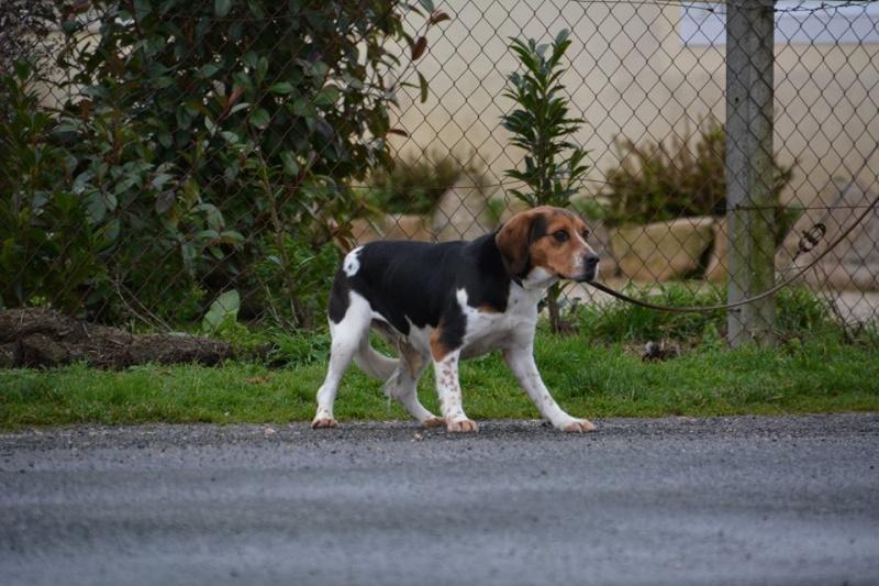 ELGA  beagle née 01/10/2014  adoptée par MARYLINE  ( 79 ) 12644810