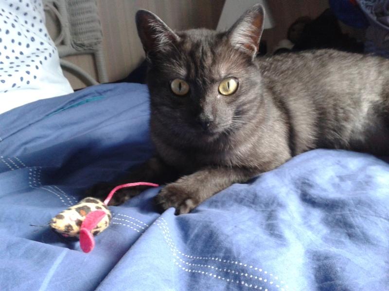 LIXOU, jeune chat européen, robe smoke, né en janvier 2015 20151110