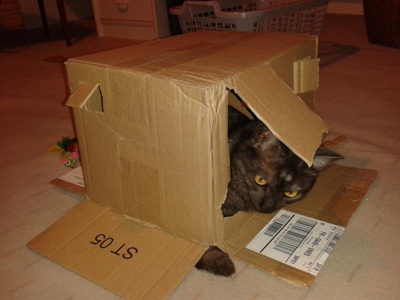 LIXOU, jeune chat européen, robe smoke, né en janvier 2015 20151111