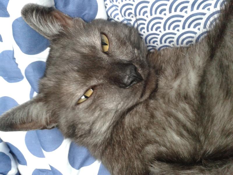 LIXOU, jeune chat européen, robe smoke, né en janvier 2015 20160110