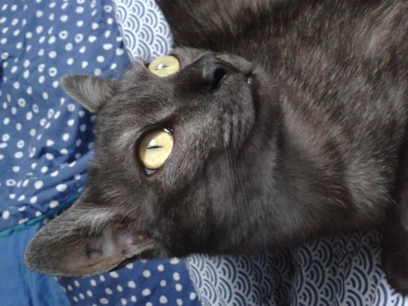 LIXOU, jeune chat européen, robe smoke, né en janvier 2015 20160111
