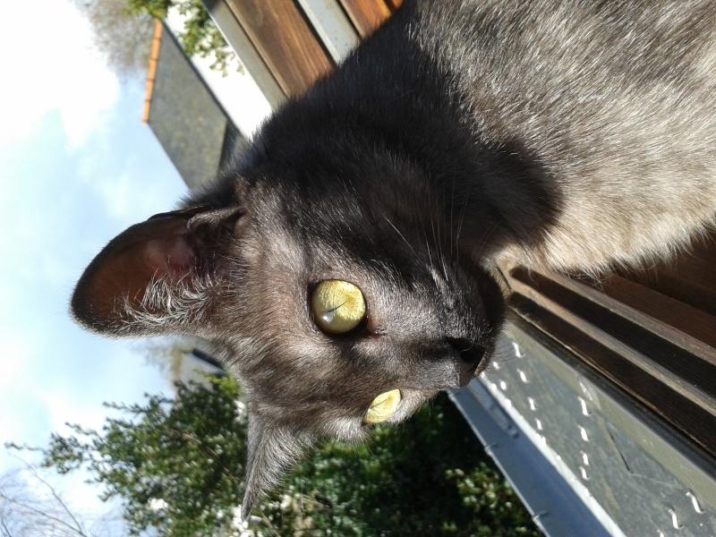 LIXOU, jeune chat européen, robe smoke, né en janvier 2015 20160210