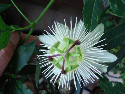 une merveille (Passiflora caerulea) 13_05_10