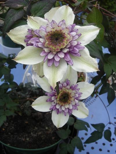 une merveille (Passiflora caerulea) Florid10