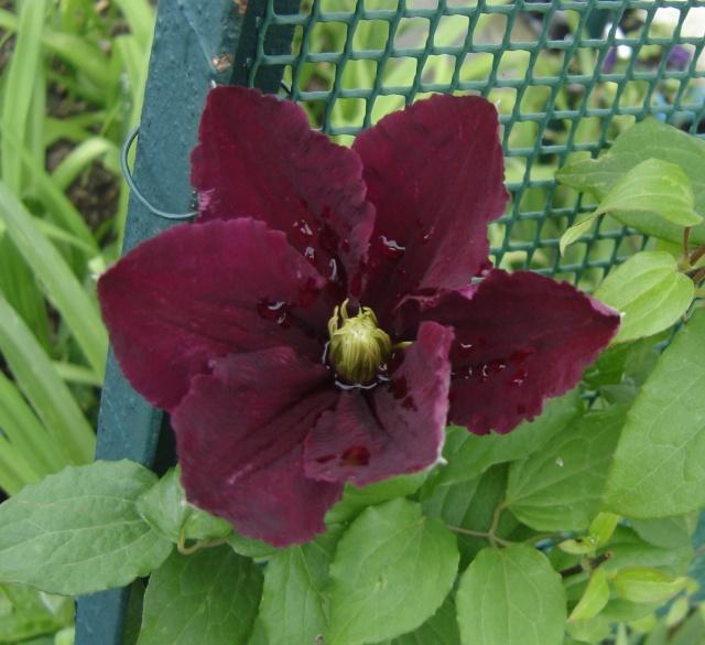 de nouvelles fleurs au jardin Niobe_10