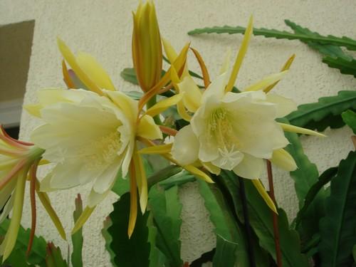Epiphyllum oxypetalum Photo_40