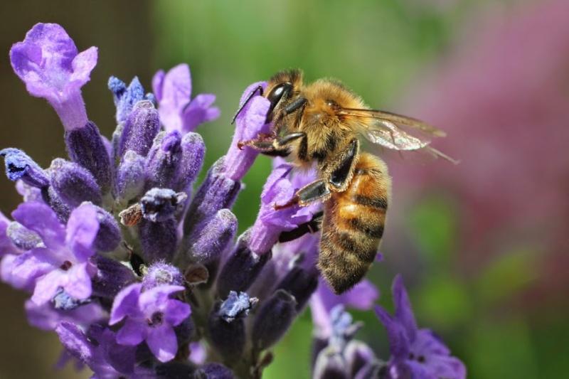 Photos d'abeilles - une par jour  Img_8410